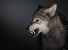 Grey Wolf (Canis lupus), snarling, side view by Tim Flach on Getty Images
