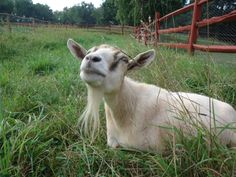Our goat Buttercup lounging in the grass.
