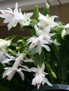 Christmas Catus The cat christmas Indoor Cactus Plants, Indoor Flowering Plants, Indoor Flowers, Giant Flowers, Christmas Cactus Plant, Easter Cactus, Christmas Flowers, Christmas Cats, Orchid Cactus