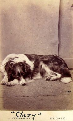 cdv of a collie named Chevy. Faint hint of a leash — this is no post-mortem. Yeoman & Co. From bendale collection Big Dogs, I Love Dogs, Dogs And Puppies, Doggies, Dog Breeds Little, Best Dog Breeds, Dog Photos, Dog Pictures, Big Dog House