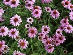 Třapatka nachová (třapatkovka) ´Prairie Splendor´ - Echinacea purpurea ´Prairie Splendor´ Plants, Plant, Planets