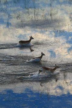 Letschwe-Antilopen im Überschwemmungsgebiet des Okavangodeltas in Botswana (© Sergey Gorshkov/Minden Pictures)