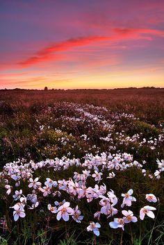 Field of anemones, Estonia | Andrei Reinol, on flickr.
