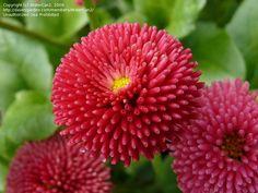 English daisy, deep rose.