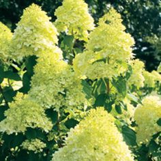 'Limelight' - Hardy Hydrangea - Hydrangea paniculata will do well in a container,can take drought