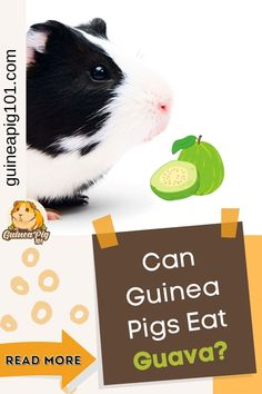 Guava is a high source of Vitamin C, antioxidants, and manganese. Guava has numerous benefits for humans as it helps to boost immunity, protects against various types of cancer, helps to balance blood sugar levels. But what about our guinea pigs? Can guinea pigs eat guava? I did some research and here is what I have learned. #guineapig101 #guineapigcare #guineapigguides #guineapigs #smallpets #guineapigdiet Guinea Pig Food, Guinea Pig House, Baby Guinea Pigs, Guinea Pig Care, Best Fruits For You, Guinea Pig Information, Pigs Eating, Fruit List, Blood Sugar