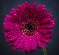 """Gerbera Daisy""   # Pin++ for Pinterest #"