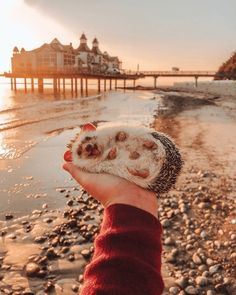 aww cute hedgehog Photo amazing - 9223639808 What a beautiful seashell! - World's largest collection of cat memes and other animals Happy Hedgehog, Hedgehog Pet, Cute Hedgehog, Baby Animals Super Cute, Cute Little Animals, Cute Funny Animals, Cutest Animals, Baby Animals Pictures, Cute Animal Pictures