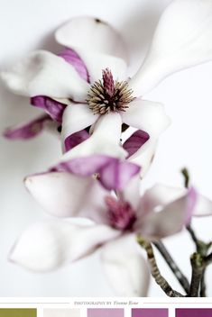 Gorgeous magnolia blooms photographed by Yvonne Kone (via) Creature Comforts