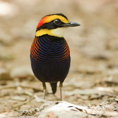 Banded Pitta: Male.