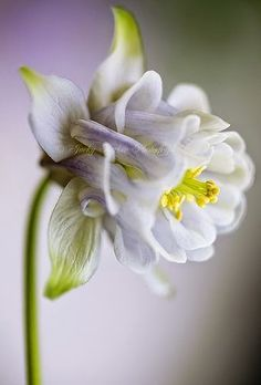 Common Columbine (Aquilegia Vulgaris) is a species of columbine native to Europe.