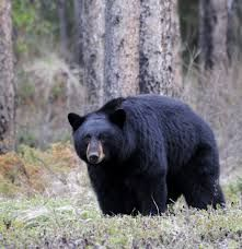 Bear Facts to Success-Sorry it's blurry, but I've never seen such a big black bear Moose Pictures, Hunting Pictures, Animal Pictures, North American Animals, American Black Bear, Deer Hunting Tips, Bear Hunting, Archery Hunting, Whitetail Deer Pictures