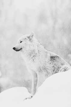 snowy wolf in winter | photography black & white . Schwarz-Weiß-Fotografie . photographie noir et blanc | @ Anivide |