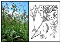 Mutha / Cyperus rotundus/ boto-botones / nut grass : Medicinal Herbs / Philippine Alternative Medicine - used for inducing menstruation