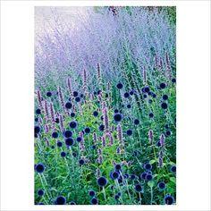 Echinops 'Veitchs Blue' - Globe thistle and Perovskia - Russian sage Piet Oudolf Blue Garden, Colorful Garden, Dream Garden, Prairie Planting, Prairie Garden, Fall Planting, Border Plants, Herbaceous Perennials, Ornamental Grasses