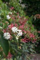 Heptacodium miconioides also good cut flower