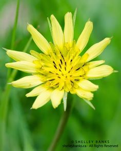 Prairie Wildflowers: Goatsbeard. Copyright © Shelley Banks, all rights reserved.