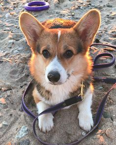 Animals And Pets, Cute Animals, What A Beautiful World, Cute Dog Pictures, Corgis, Dog Accessories, Dog Care, Dog Owners, Dog Breeds