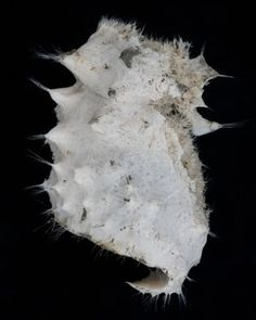 A hexactinellid sponge, a sample specimen collected from in Half Moon Bay, outside Livingston Island in the Antarctic Ocean Life, Amazing Flowers, Livingston, Creatures, Moon, Island, Ancient History, Animals, Image
