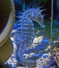 En bonito azul. Sea Horse