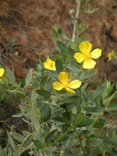 Image: Bush Poppy