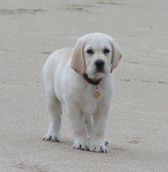 english white labrador retriever..