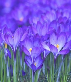 crocus - the first signs of Spring~