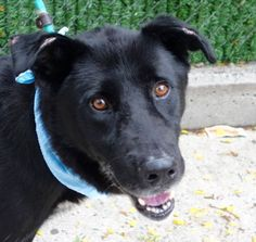 SUPER URGENT -  JAMES - A1091811 - - Manhattan  Please Share:TO BE DESTROYED 10/04/16: I always loved black Shepherds. I met one named Blackie about ten years ago at the care center that always remained locked in my heart and thoughts. His picture sits on my desk and James is just his replica…So, I had to meet him…James, a large dog is calm in his kennel although he is  standing by his door. He is leashed easily and we are outside in no time. James is strong and pulls. He does