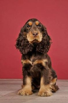 Cocker Spaniel definitely my Rosie xxx