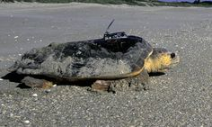 It's hard to protect a species if you don't know where to find them. Loggerhead turtles spend 99% of their time at sea and much about their underwater life is still a mystery. However, satellite tracking is helping to change that. A transmitter attached to their shell uploads data to satellites when the turtle surfaces, which can then be downloaded and sent to wildlife researchers. From an article by Laura K. Zimmermann, purchased by AppleSeeds, April 2015. Picture by USFWS public domain…