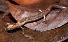 Species New to Science: [Herpetology • 2016] Oedipina berlini • A New Species of Salamander (Caudata: Plethodontidae: Oedipina) from the central Caribbean Foothills of Costa Rica