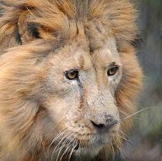 cecil the lion killed - Google Search