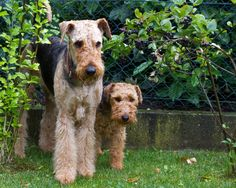 Airedale & Welsh | by lapideo