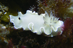 Glossodoris misakinosibogae