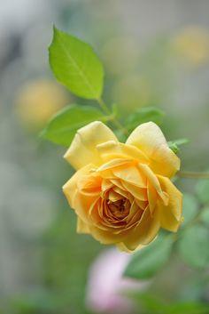 https://flic.kr/p/nmMEYw | Rose 'Golden Celebration' | イングリッシュローズ  ゴールデンセレブレーション