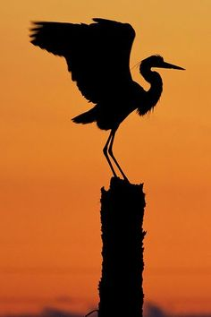 'Great Blue Heron Silhouette' by Matthew Paulson (karate kid) Sunset Silhouette, Animal Silhouette, Silhouette Art, Beautiful Birds, Animals Beautiful, Silhouette Photography, Blue Heron, Bird Feathers, Beautiful Creatures