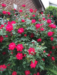 Double Knock Out Roses @Star Roses and Plants #RoseChat