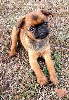 I'd like to find out as much as possible about this breed...Petit Brabancon.  For starters, the pronunciation would help.  :)