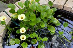 21 Awesome Pond Plants For Your Dream Water Garden Water Plants For Ponds, Floating Pond Plants, Water Garden Plants, Water Gardens, Big Leaf Plants, Bog Plants, Dream Water, Garden Pond Design, Ponds Backyard