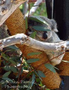 Baby koala sleeping in a tree next to his mom at the San Diego Zoo