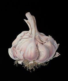 Garlic watercolor illustration by Susannah Blaxill