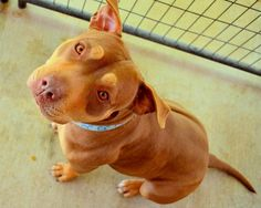 ★1/9/16 SL★GiGi is an adoptable Pit Bull Terrier searching for a forever family near Bakersfield, CA. Use Petfinder to find adoptable pets in your area.