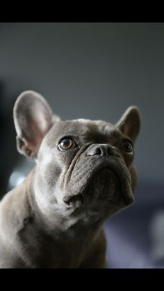 Blue frenchie French Bulldog Blue, French Bulldogs, Blue Frenchie, Service Dogs, Bedroom Ideas, Dance, Animals, Dancing, Animales