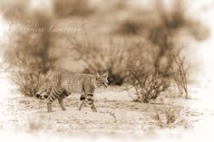 The African Wildcat is a rarely seen animal but surprisingly in the Kgalagadi Transfrontier Park sharp eyes will reveal them. Photo taken by Christine Lamberth Animal Pictures, Cape, Wildlife, African, Eyes, Awesome, Photos, Animals, Images Of Animals