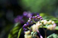 purple beautyberry - こむらさき