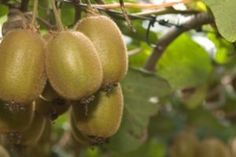Kiwis Hayward, Kiwifruits Seeds- Delicious Healthy Fruits in Your Gardens Fast Growing Trees, Growing Grapes, Fruit Trees For Sale, Banana Seeds, Grapevine Growing, Color Verde Claro, Kiwi Juice, Evergreen Vines, Bonsai Seeds