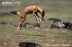 The endangered Ethiopian wolf pouncing...