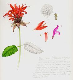 Monardia or bee balm sketchbook study by Lizzie Harper botanical illustration
