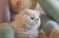 Persian kitty!! I want! If only I wasn't deathly allergic :(