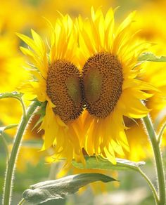 Heart to heart Sunflowers stand Tall. Sunflower Quotes, Sunflower Hearts, Sunflower Pictures, Sunflower Garden, Sunflower Fields, Yellow Sunflower, Happy Flowers, Love Flowers, Beautiful Flowers